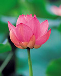 Used Lotus photo 16991