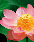 Used Lotus photo 3743