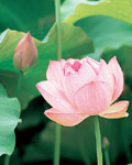 Used Lotus photo 4479