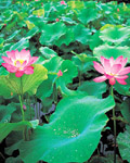 Used Lotus photo 5627