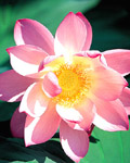 Used Lotus photo 6831