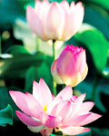 Used Lotus photo 6954