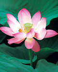Used Lotus photo 8015