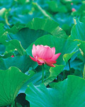 Used Lotus photo 8127