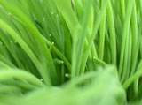 Green grass leaves 3744