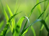 Green grass leaves 4916