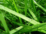 Green grass leaves 5344