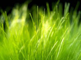 Green grass leaves 7903