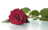 High-resolution photo roses 25302