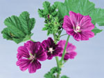 Herbal flower picture 25841