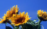 Sunflower 3599