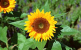Sunflower 72