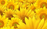 Sunflower close-up 11527