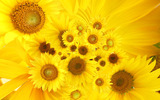 Sunflower close-up 12390