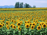 Sunflower Photo 5063