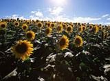 Sunflower Photo 5632