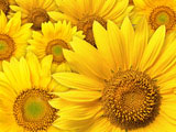 Sunflower Photo 6959