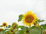 Sunflower Photo 7445