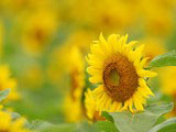 Sunflower Photo 7564