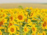 Sunflower Photo 7906