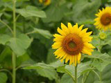 Sunflower Photo 8800