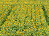 Sunflower Photo 9018