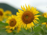 Sunflower Photo 9234