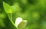 Sprouts leaves 4339