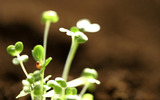 Sprouts leaves 7447