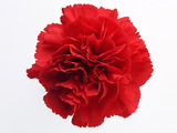 Carnation flowers 2151