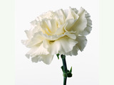 Carnation flowers 4780