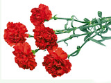 Carnation flowers 603