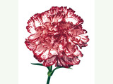 Carnation flowers 778