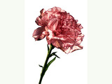 Carnation flowers 952