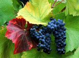 Grape Photo 3483