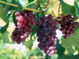 Grape Photo 4224