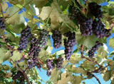 Grape Photo 4663