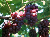 Grape Photo 4809