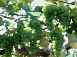 Grape Photo 4953