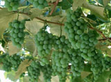 Grape Photo 5381