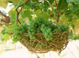 Grape Photo 5523