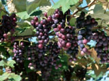 Grape Photo 6228