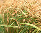 Tao Heung Shakes the Barley * Album 2846