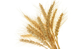 HD wheat crop material 7590