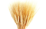 HD wheat crop material 8157