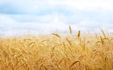 HD wheat crop material 8493