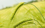 HD wheat crop material 9043
