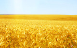 HD wheat crop material 9151