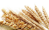 HD wheat crop material 9581
