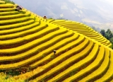 the nursery yellow rice on terraced fields 32355
